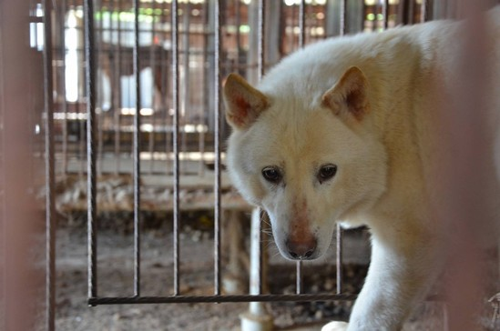 From Helpless to Hopeful: Korean Dog Meat Farms