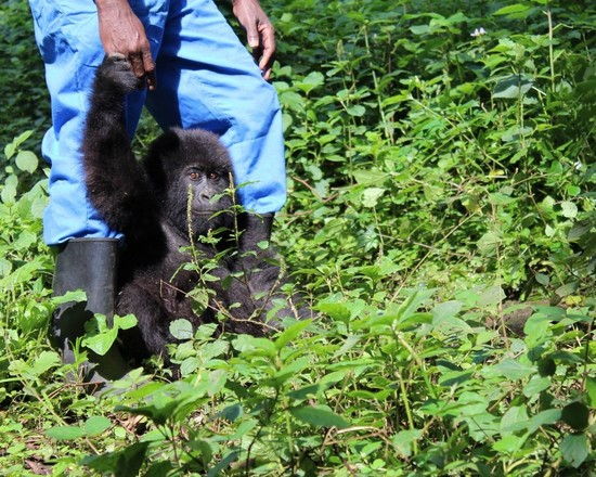 Gorilla Doctors: The Impact