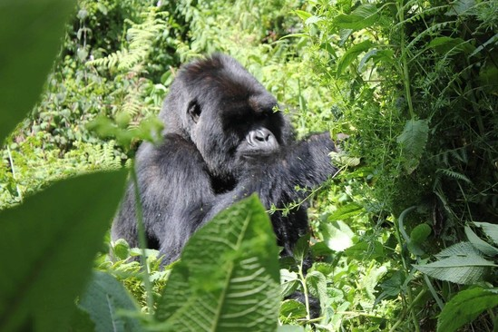 Gorilla Doctors: A Brief History
