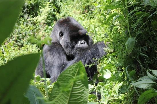 Gorilla Doctors: A Brief History