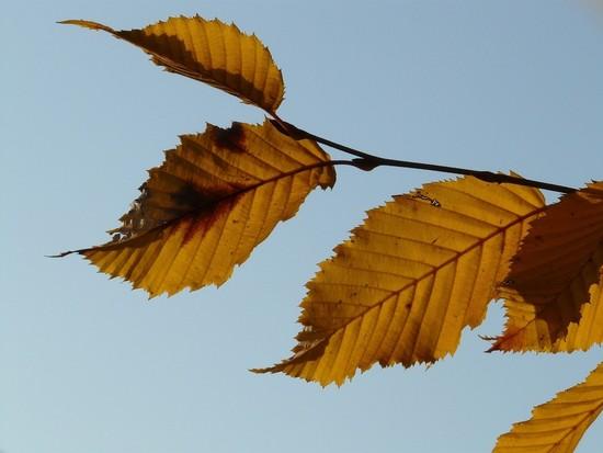 A Single Birch Leaf