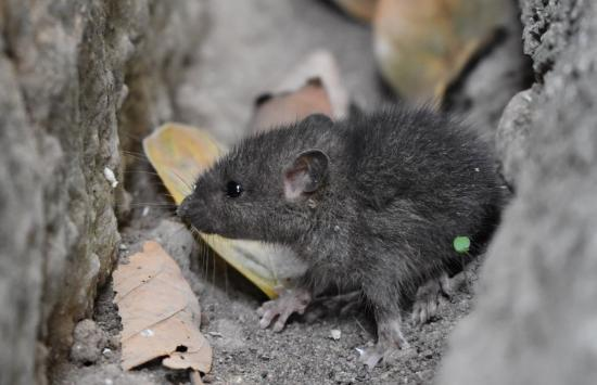 How you could be living with rodents and not know it
