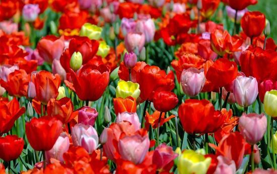 Tulip Festival Now in Bloom
