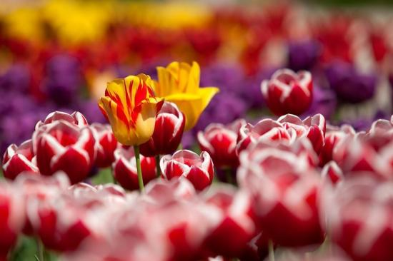 Tulipmania In Bloom for Festival's 65th Anniversary!