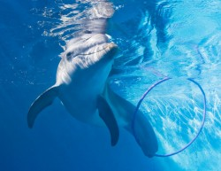 Winter_the_Dolphin_-_Clearwater_Marine_Aquarium_(without_tail)
