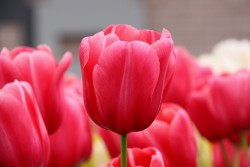 Pink-Tulips-2009